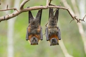 Bat Removal Regulations in North Carolina