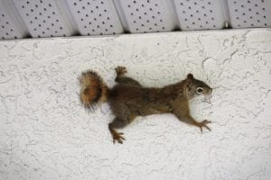 How to Avoid Needing Squirrel Removal