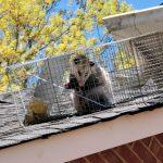Possum Removal in Charlotte, North Carolina